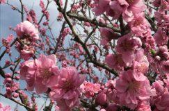 第13回川の駅・中川やしお花桃まつり