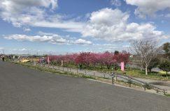 第13回川の駅・中川やしお花桃まつりの会場に行ってきました!
