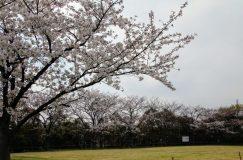 八潮市内の桜おすすめスポットを回ってみました